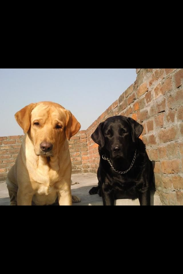 Pathan And Tina Punjab Ludhiana India Cute Dogs Sweet