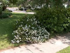 Gardenia jasminoides 'Radicans Variegata' - Plant Finder ...Gardenia Jasminoides Variegata