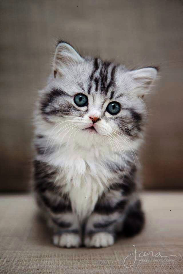 Shared Cats And Kittens For Sale Baby Cats Baby Animals Cute Cats