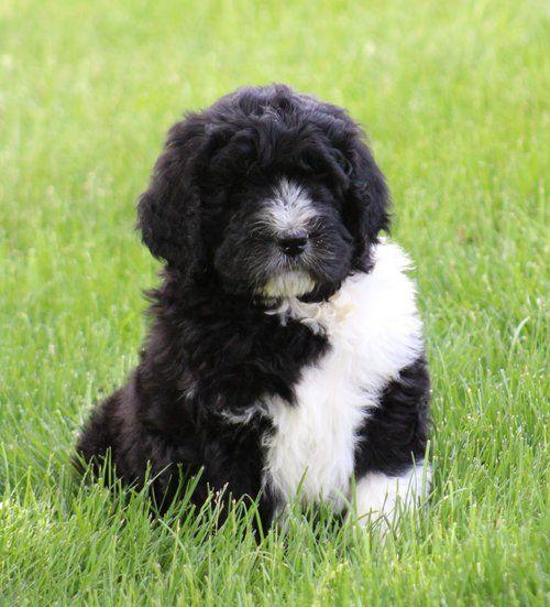 Newfypoo Puppy Https Www Newfiedoodles Com Newfiedoodle Newfypoo Newfy Poodle Puppy Puppies Newfypoopuppies F1b Poodle Mix Dogs Puppies Dog Breeds