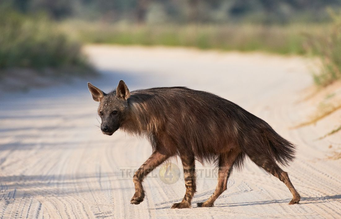 rare seen Brown Hyena, Parahyaena brunnea or Hyaena brunnea, Kgalagadi Transfrontier Park, South Africa