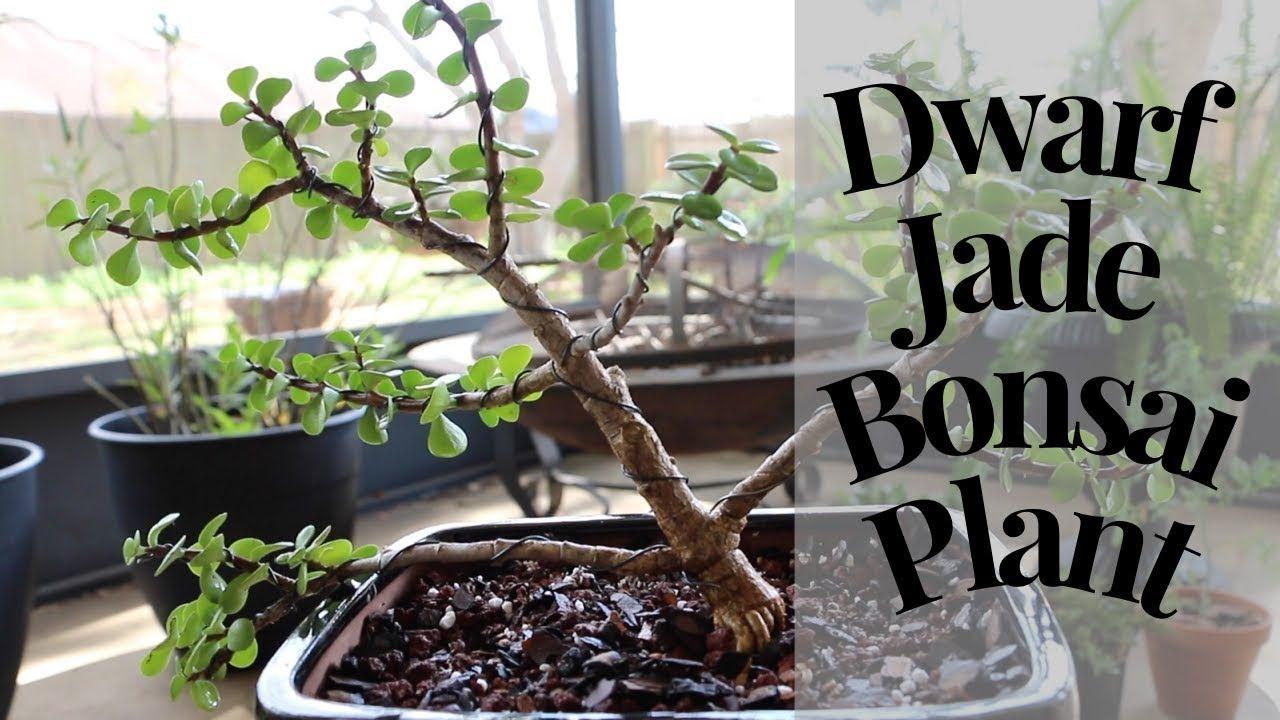 Dwarf Jade Bonsai Techniques Jade Bonsai Bonsai Techniques Jade Plant Bonsai