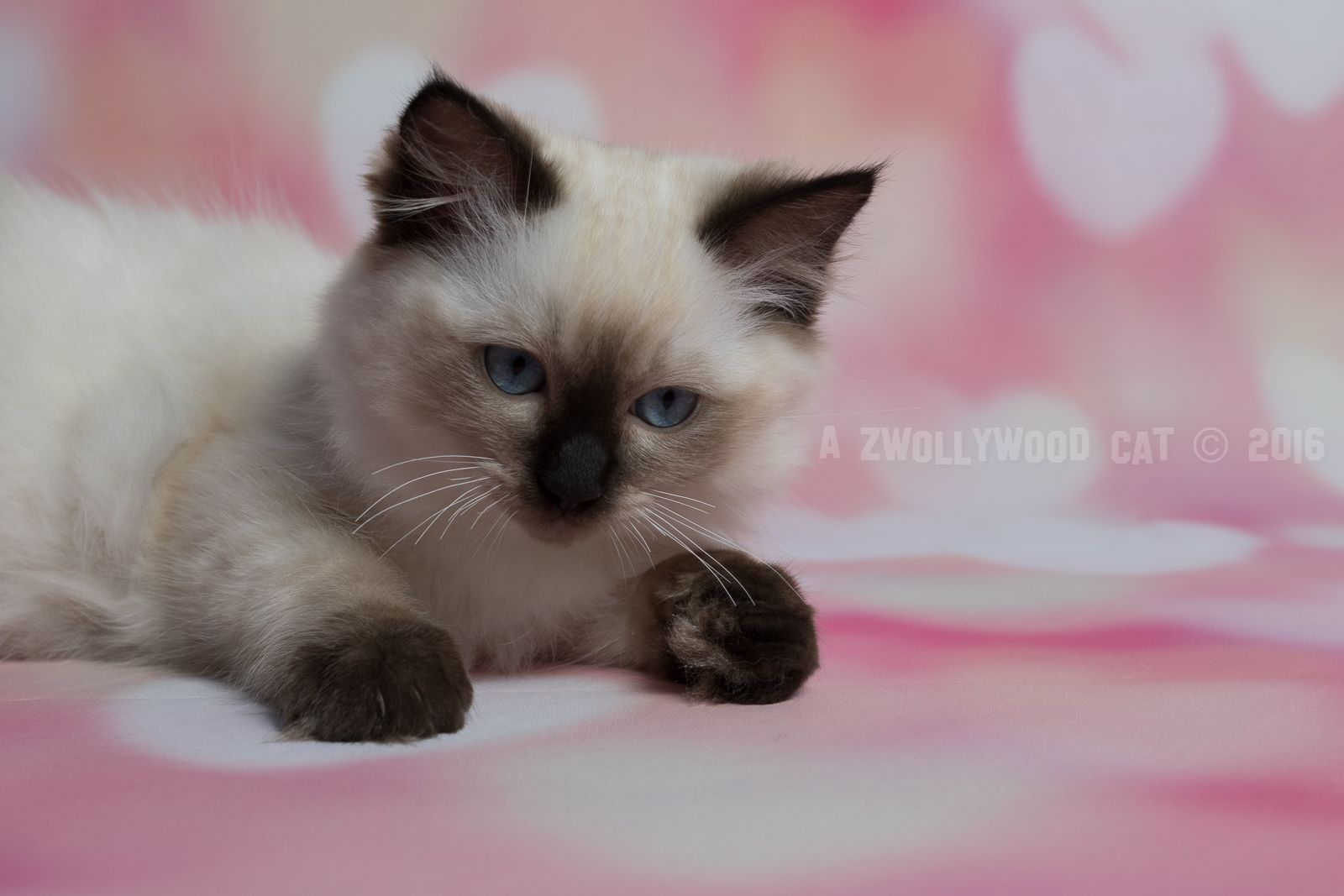 2016 Nasuada A Zwollywood Cat 12 Weeks Old Ragdoll Kitten Seal Colourpoint Eragon Litter