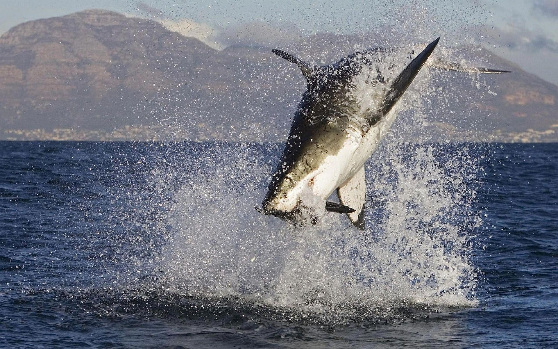 Ultra Hd White Shark Attack