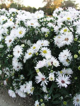 Aster Bonningdale White Perennials Flowers Perennials White Gardens
