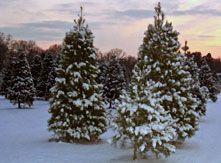 Delaware Christmas Tree Growers Association Christmas Trees Grown Fresh With Care In Delaware Growing Tree Growers Tree