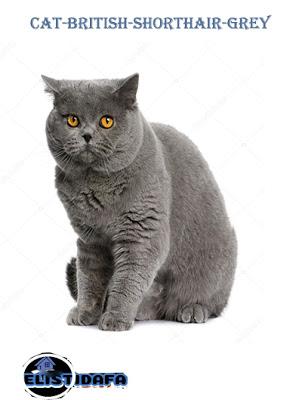 القط البريطاني British Short Hair Cat Cats Short Hair Cats Types Of Cats