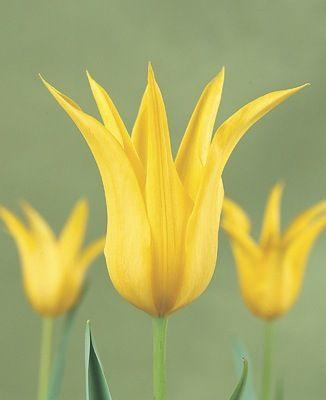 Tulipa West Point Lily Flowered Tulip Jardins Sans Secret Lily Flower Light Bulb Plant Tulips