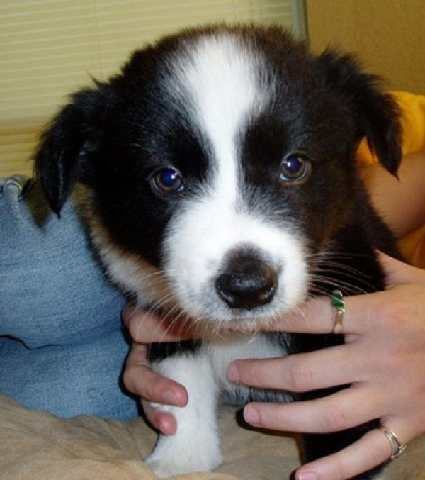 Australian Shepherd Border Collie Mix Puppies For Sale Zoe Fans