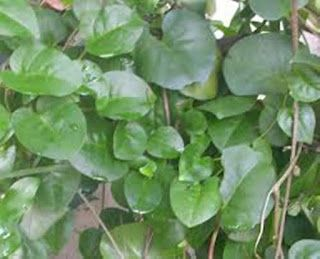 Kenali Daun Binahong Dalam Dunia Kesehatan Atau Kecantikan Berbagai Manfaat Daun Binahong Dikupas Dalam Artikel Ini Baca Dengan Plant Leaves Herbalism Plants