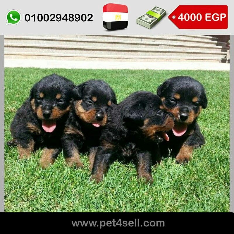 Egypt Alexandria Rottweiller Puppies For Sale In Alexandria Very