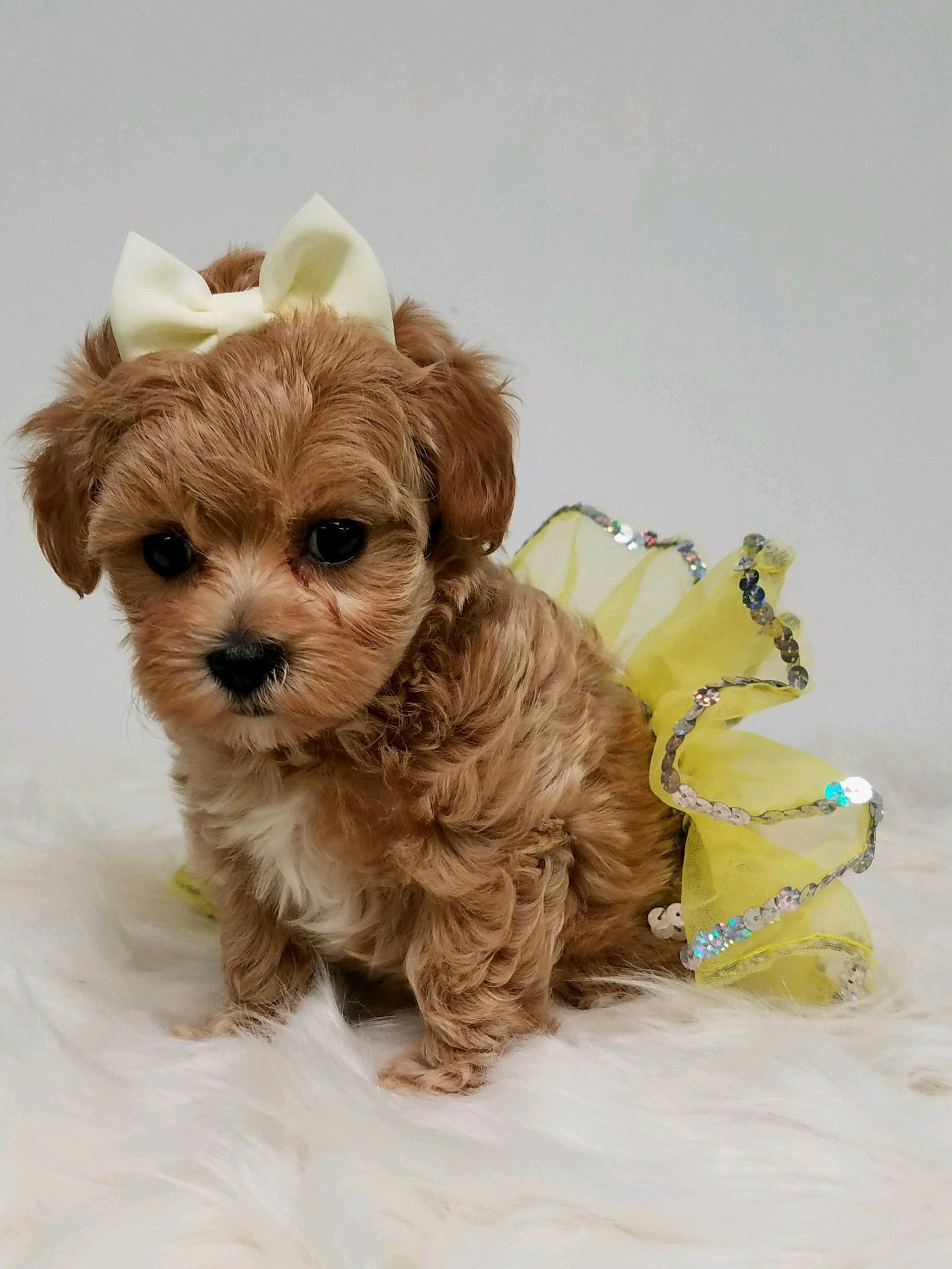 Maltipoo Dog adoption, Cute puppies, Puppies