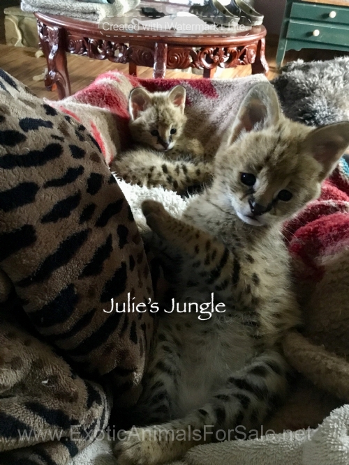 4 Week Old Female Serval Kittens For Sale Serval Kitten Serval