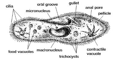 coloring pages and coloring on pinterest : paramecium diagram - findchart.co