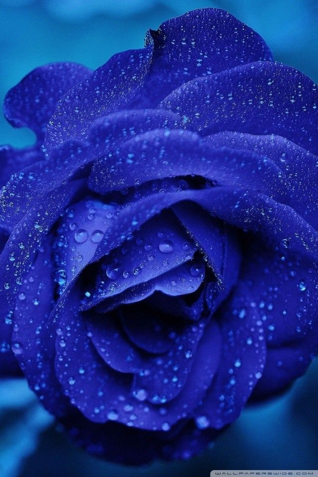 Iphone Screensaver Blue Rose Macro E29da4 4k Hd Desktop Wallpaper For 4k Ultra Hd Tv E280a2 Wide For Blue Rose Wallpaper Iphone Download Free Mawar Hujan