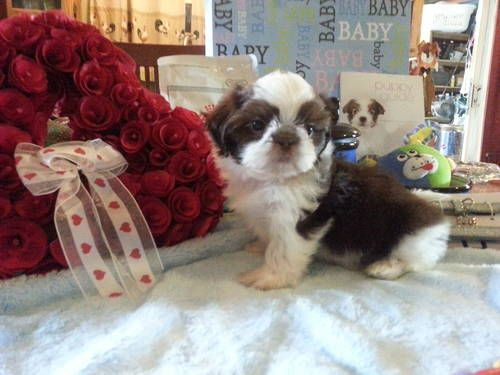 Velvety Imperial Shih Tzu Fudge Rare Color Imperial Shih