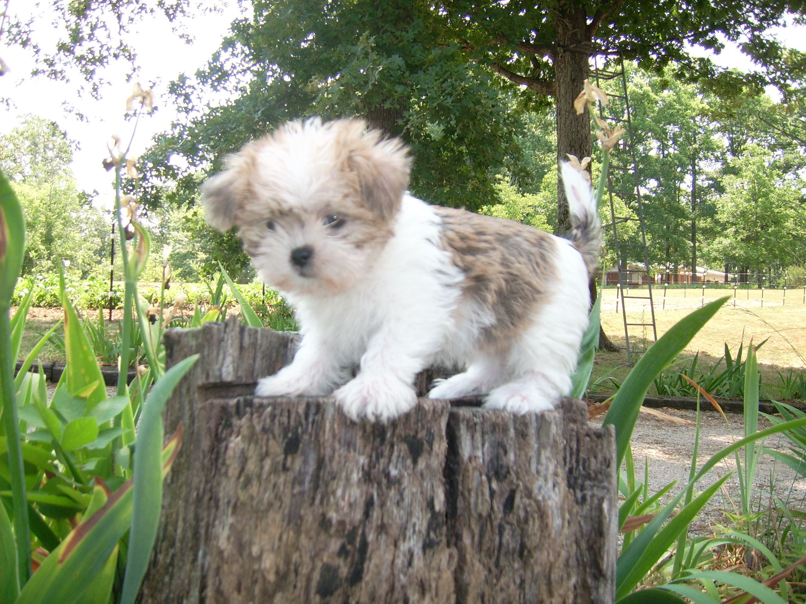 Shih Tzu Affectionate And Playful Cute Dogs Puppies Animals