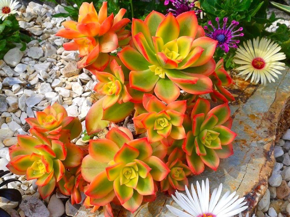Aeonium decorum variegata · succulents diysucculent plantscactisucculent