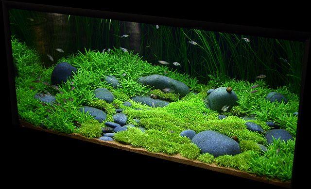 stauragyne riccia hair grass my little eden aquarium nature
