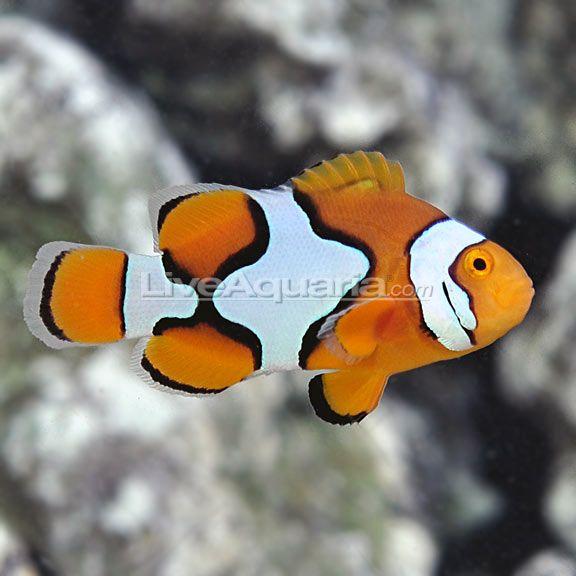 Semi Picasso Percula Clownfish Tank Bred Clown Fish Fish Pet Animals