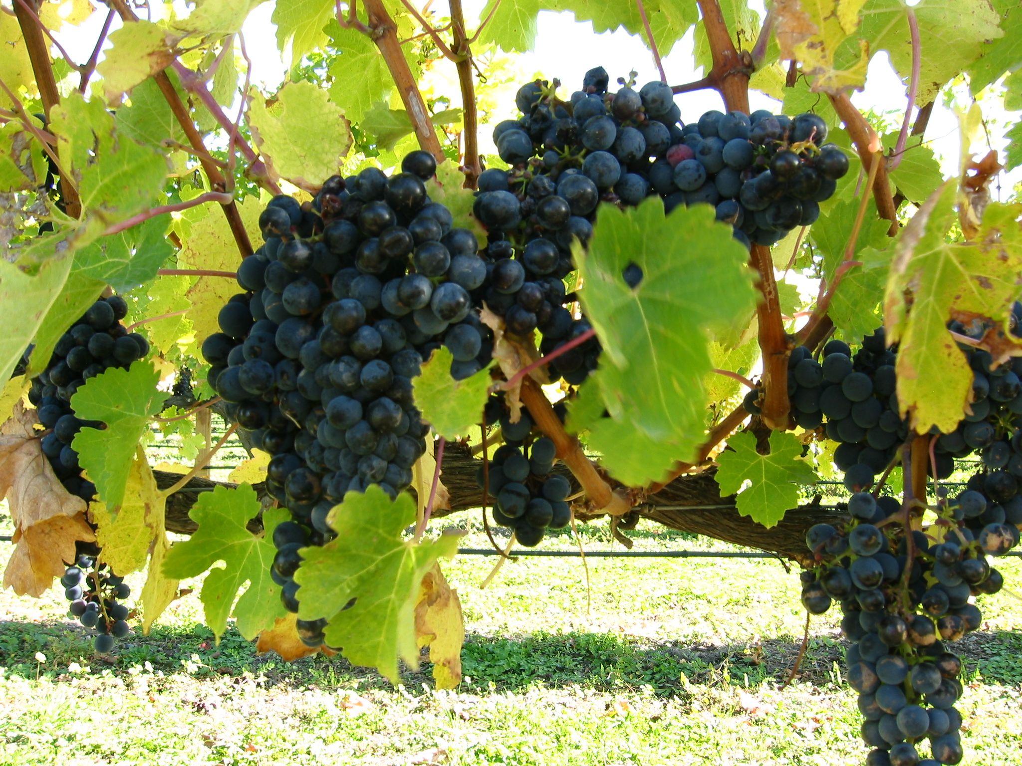 In Den Letzten 20 Jahren Ist Die Zahl Der Anbauflachen Fur Wein In