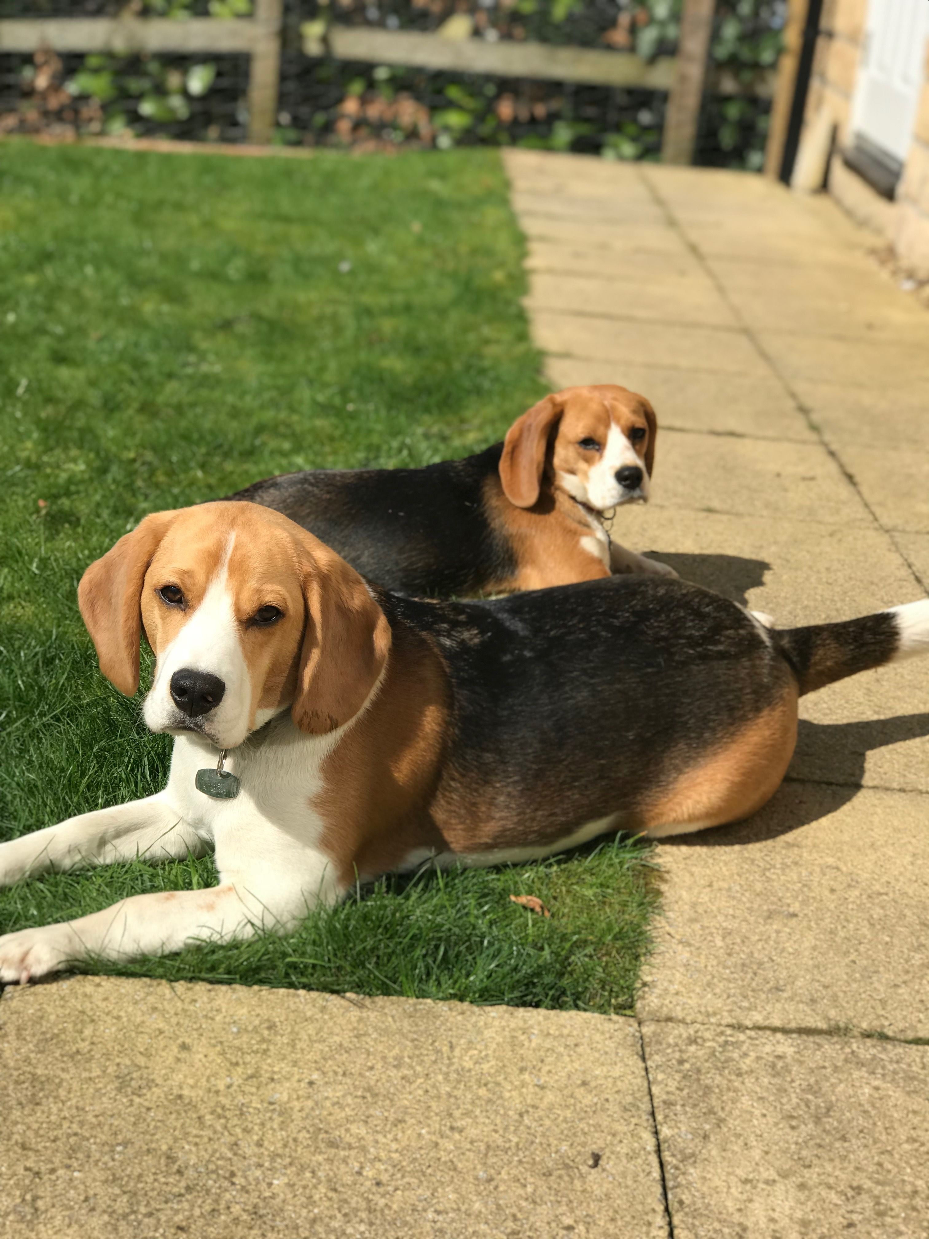Pin By Miss S On Dogs Cute Dogs Dogs Beagle