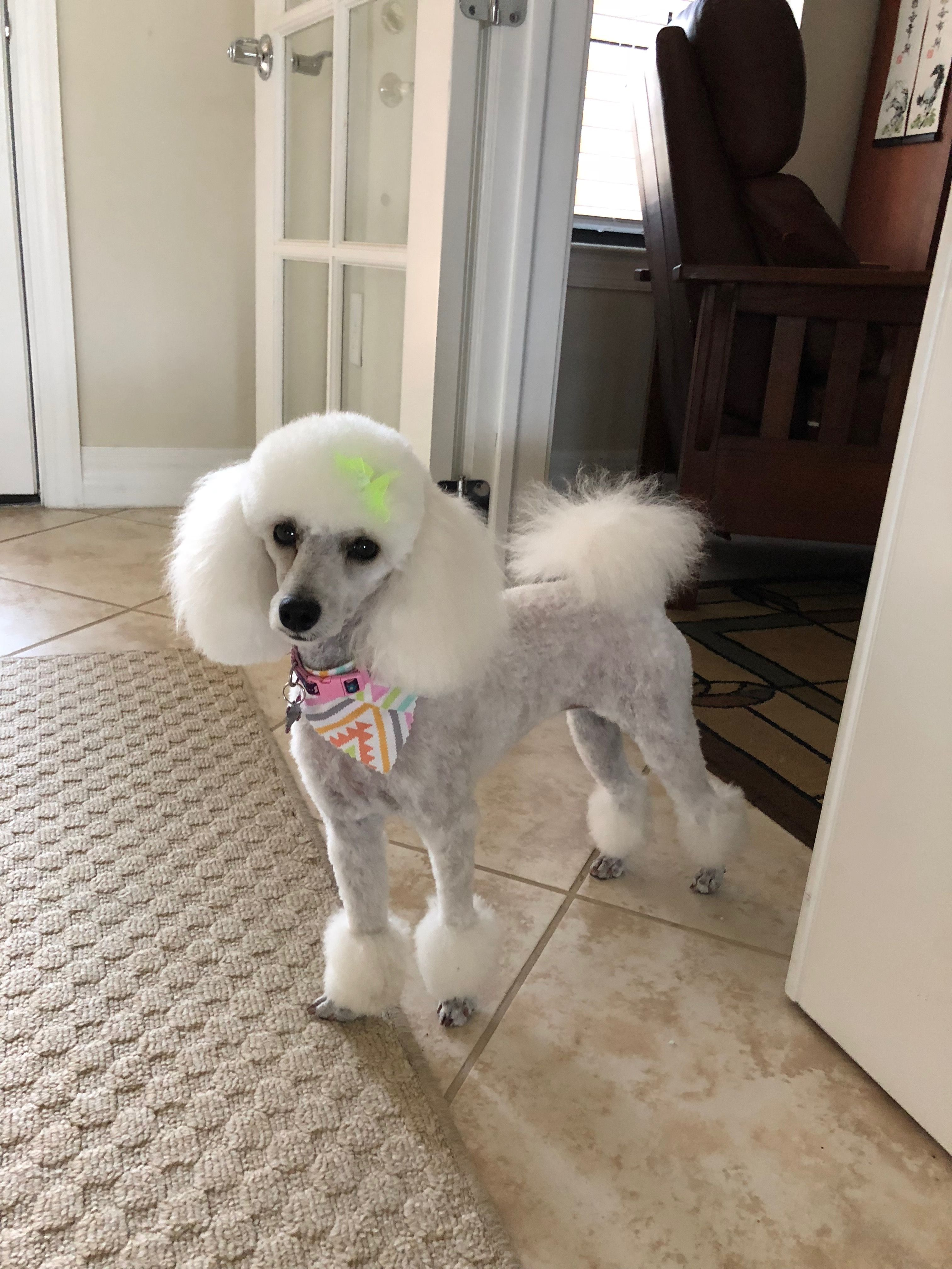 Jolie 2018 Dog Hair Poodle Grooming Dog Grooming Styles