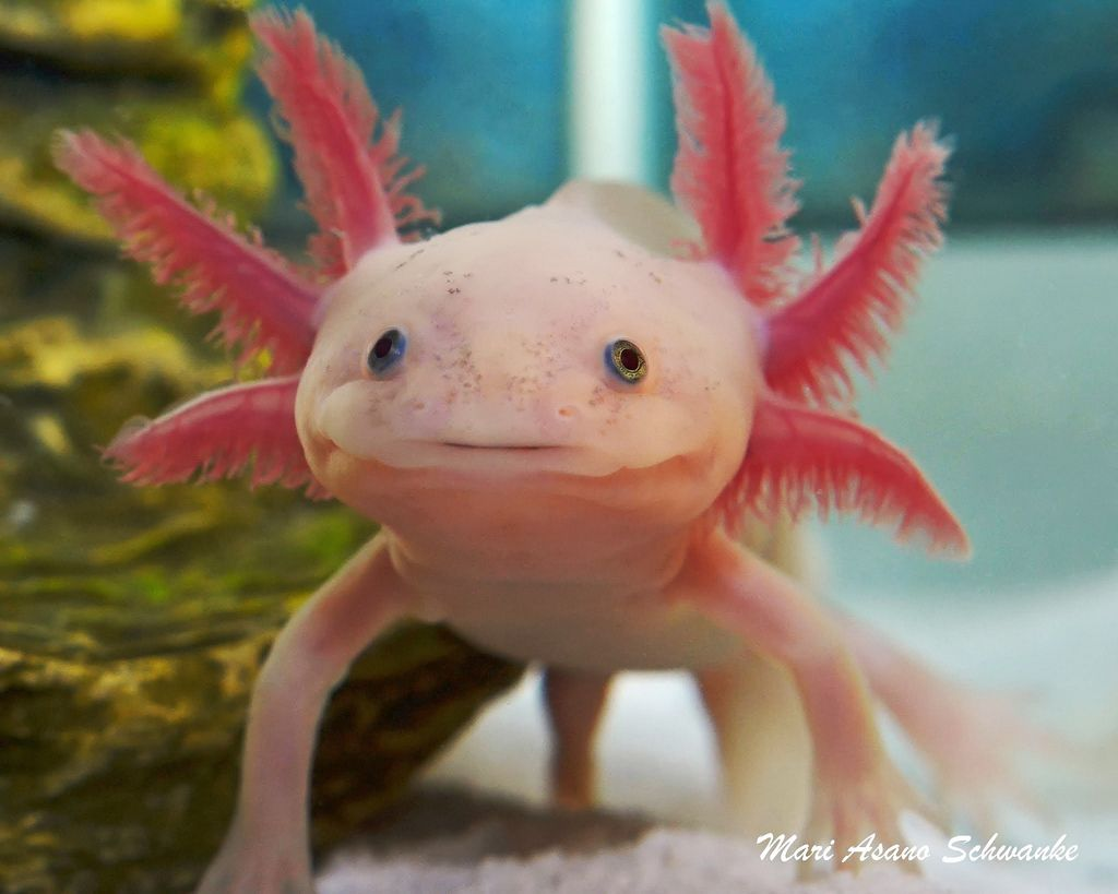 Watch How to House a Pet Axolotl video