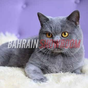 Bahrain Showroom Online Ads Posting Websites And Pets For Sale In Bahrain Grey Cat Breeds Cat Breeds British Shorthair Cats
