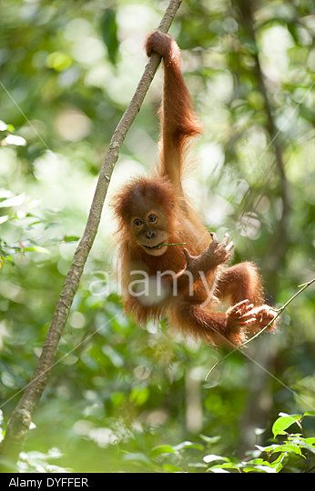 Gunung Leuser National Park, Bukit Lawang, Sumatra, Indonesia. 16th April 2014. A young orangutan plays in the forest. © Andrew Walmsley/Alamy Live News