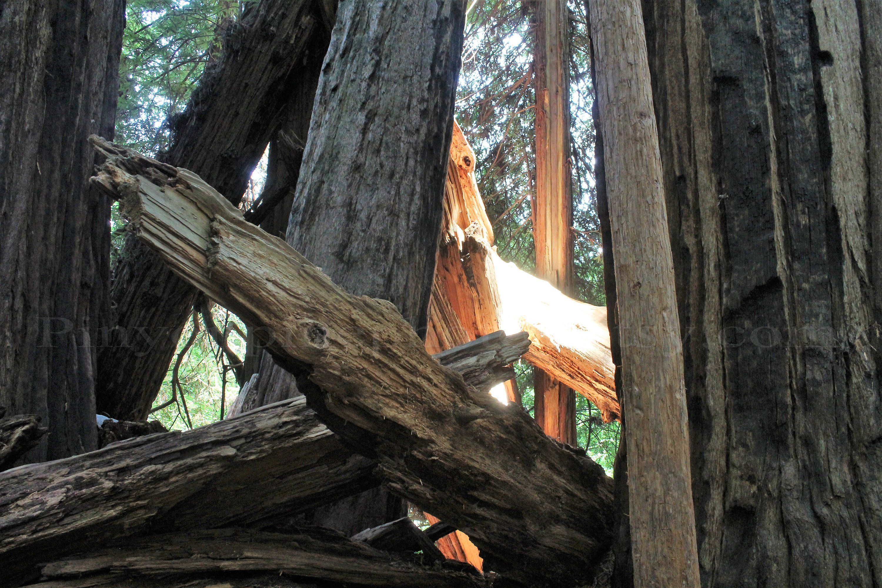 Art print POSTER CANVAS Trunk And Lower Branches of Giant Redwood