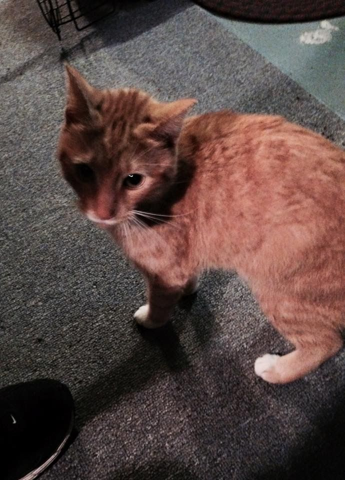 Found Cat Female New Britain Ct Usa 06053 On December 04 2016 12 00 Pm Found Cat Cute Animals Cats