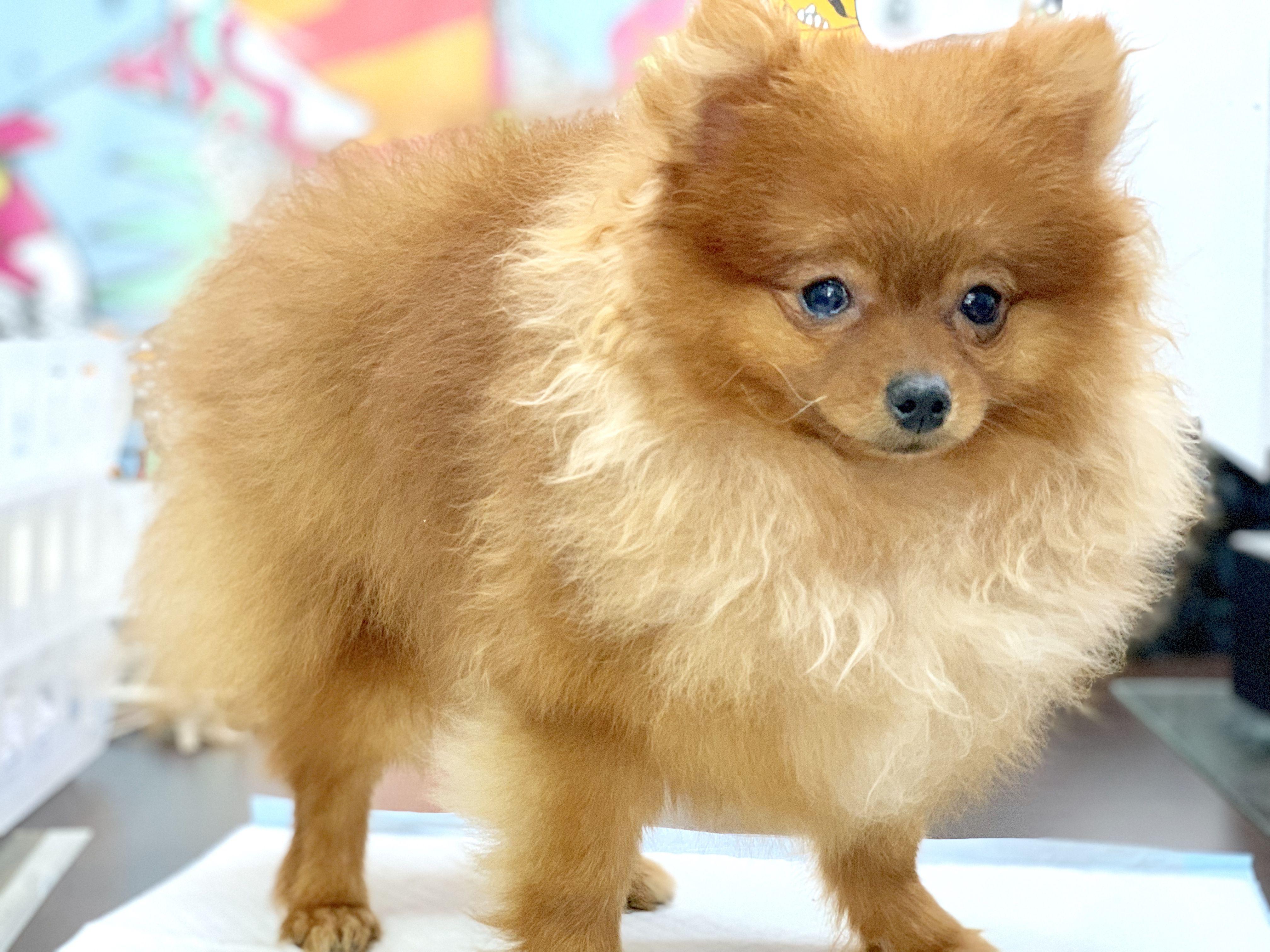 Pomeranian For Sale Pomeranian Puppy For Sale Puppies For Sale Pomeranian For Sale