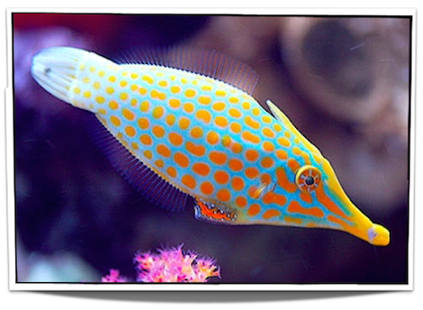 Harlequin Orangespotted Filefish Pet Fish Fish Saltwater Fish For Sale