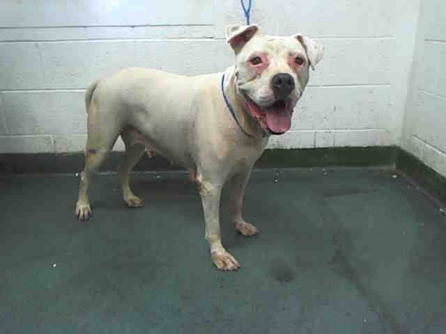 Urgent Dogs Age 2 6 Yrs Old Urgent Dogs Of Miami Dog Ages Dog Adoption White American Bulldogs