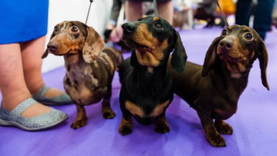 Best In Show Behind The Scenes At The 2017 Westminster Dog Show