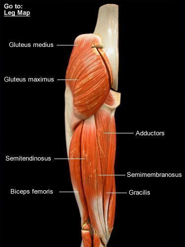 Image result for hamstrings muscles anatomy model #MuscleAnatomy ...