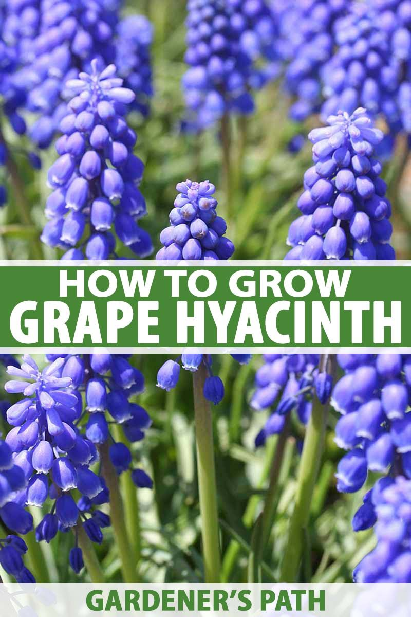 How to Grow and Care for Grape Hyacinth Spring garden