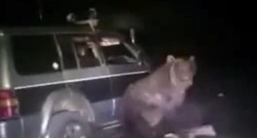 Russian Bear Stuck Under Van Is Really Pissed When He Gets Free [VIDEO]