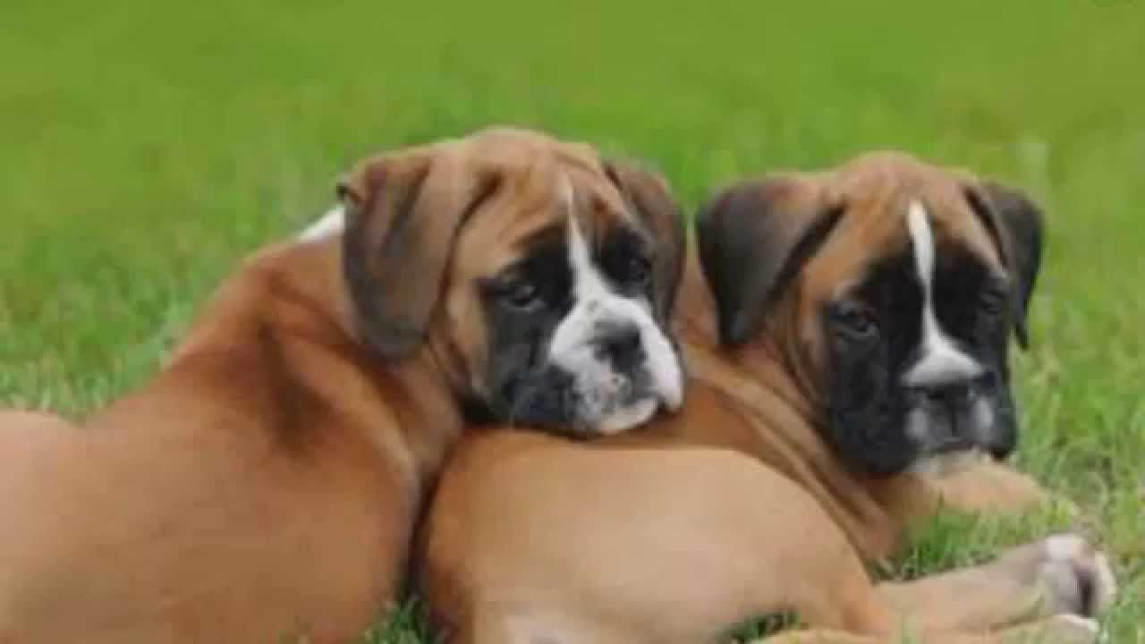 Top 10 Most Amazing Facts About Boxer Dog Breed Boxer Dogs