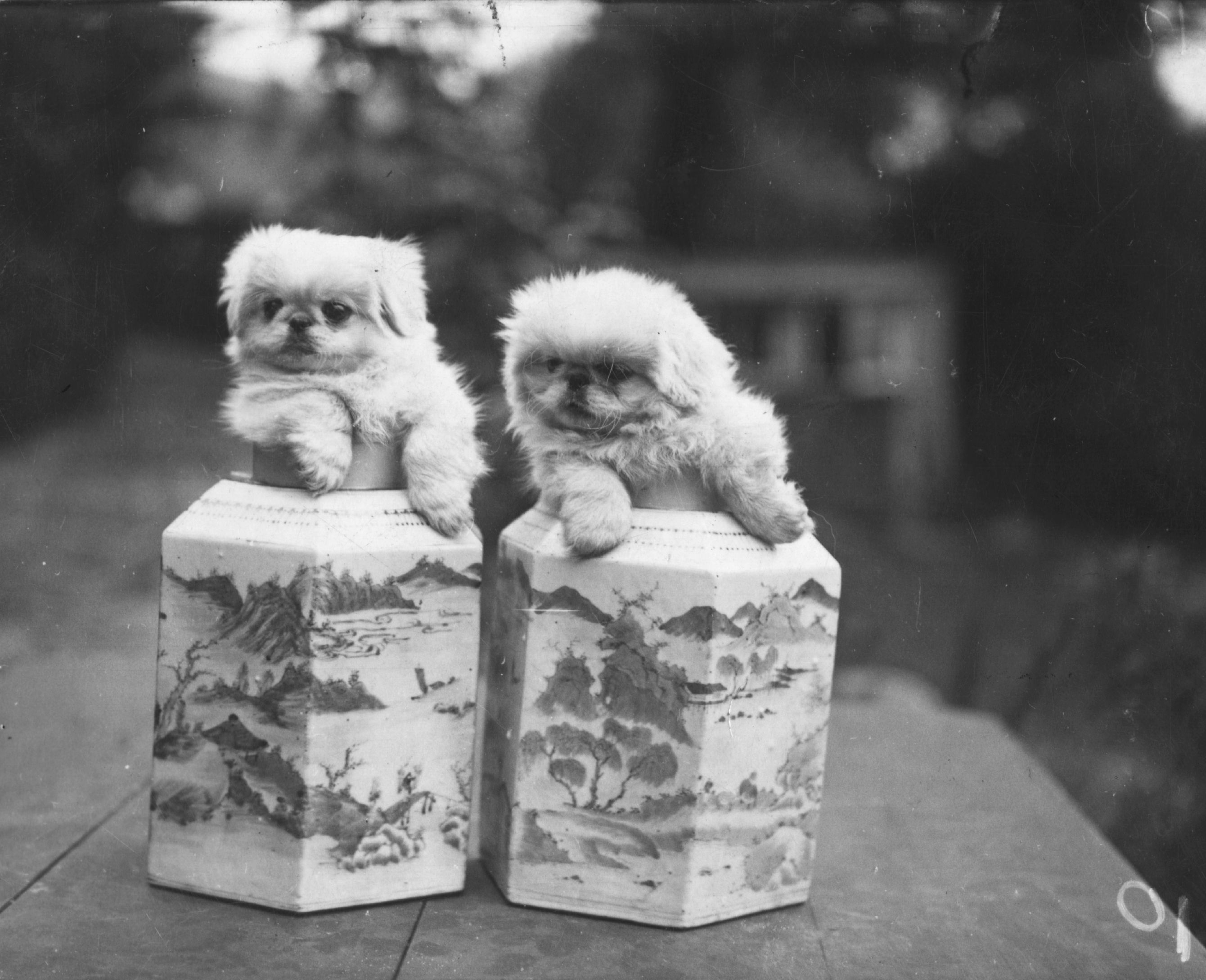 Small Pekingese Dogs Were Used As Chinese Emperors Last Line Of