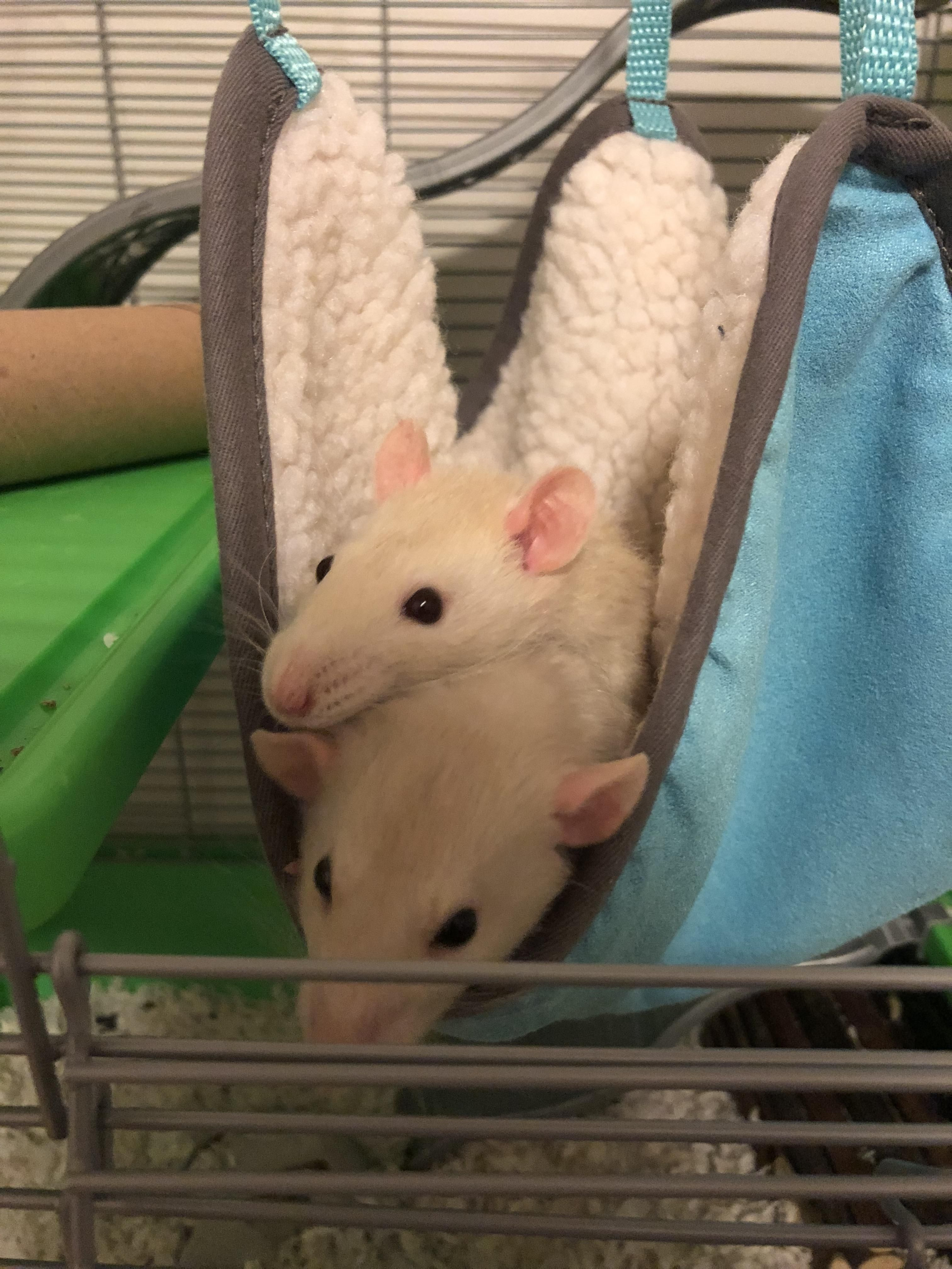 Nothing Better Than Snuggling With Your Sister In A Hammock Aww Cute Rat Cuterats Ratsofpinterest Cuddle Fluffy Animals Pet Rats Cute Rats Cute Animals