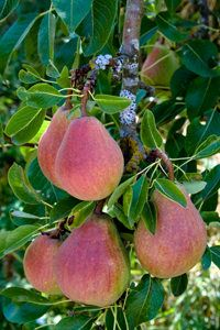 About Bartlett Pear Tree The Bartlett Pear Tree Is The 1 Pear