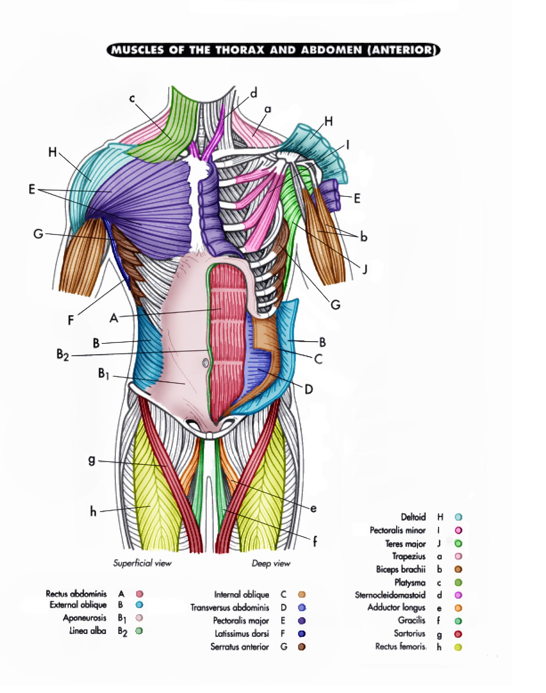 Page 4 Colored.jpg (1916×2431) | Muscle diagram, Thorax ...