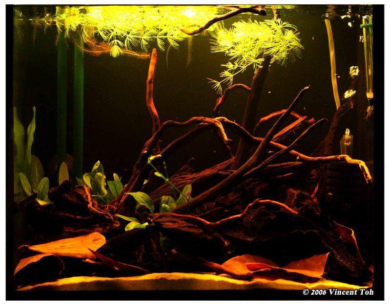 My amazon biotope tank aquarium blackwater for Amazon aquarium fish