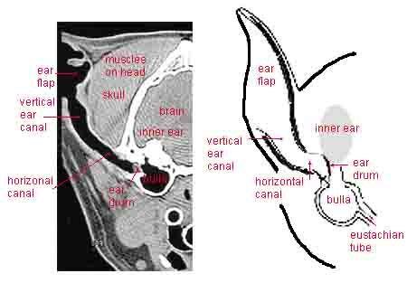 dog ear anatomy - 2 diagrams - 450px x 313px   Dog Health- Salud de ...
