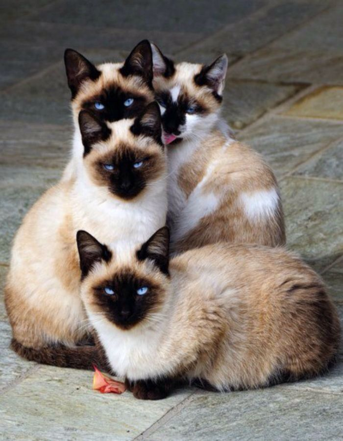 Four banditos. !  Sealpoint Siamese kittens with the dark chocolate mask characteristic of the breed .