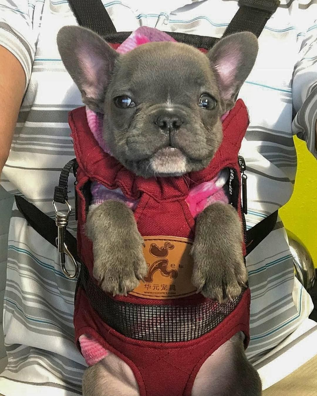 Frenchie World Dog Carrier Backpack French Bulldog Puppies
