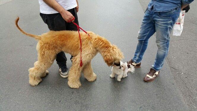 Sally e Petra #dog #cani #pet #shitzu #levrieroafgano