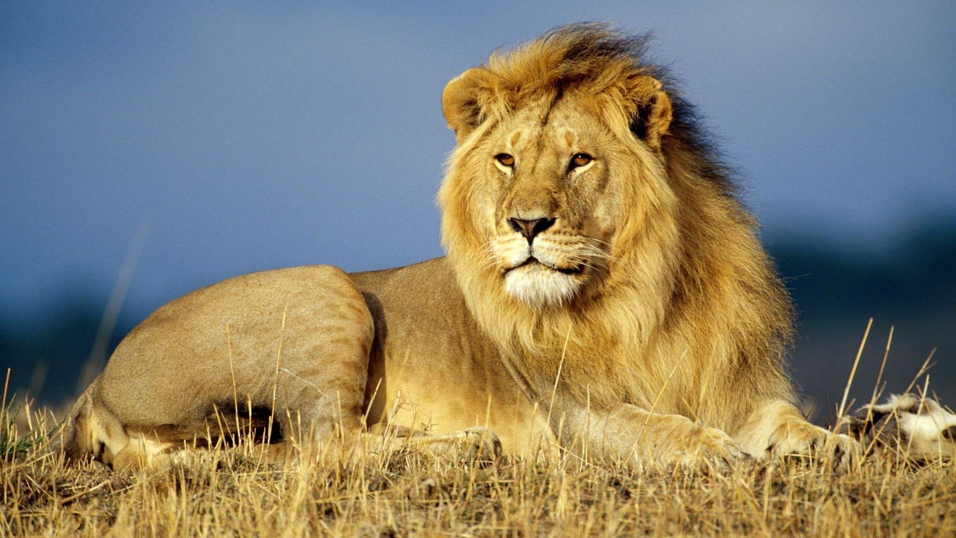 African Lion 1080p Hd Wallpaper Asian Lion Lion Wallpaper Lion